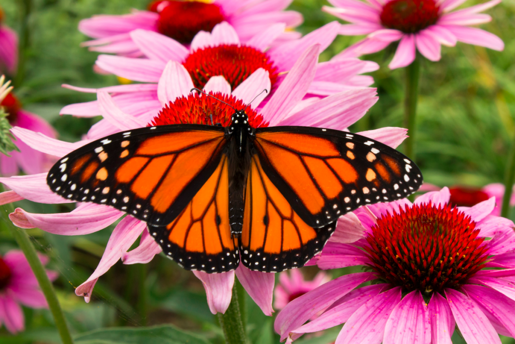 Thousands Of Monarch Butterflies To Migrate Through Texas This Spring
