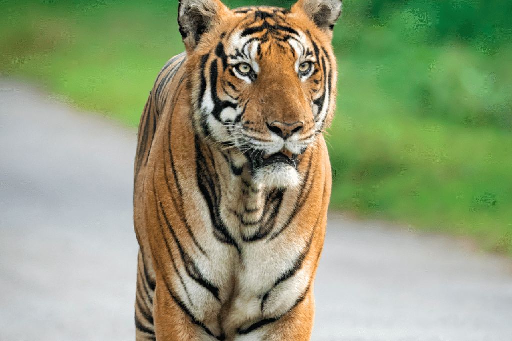 'Pet' Tiger Gets Loose In Memorial Houston, Leads To Dangerously Close Encounter